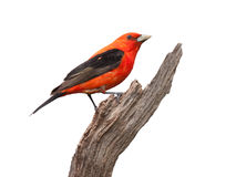 Tanager Pride Royalty Free Stock Images