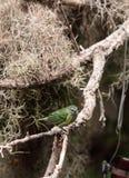 Tanager repéré connu sous le nom de Tangara punctate Photographie stock