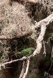 Tanager repéré connu sous le nom de Tangara punctate Images stock