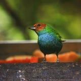 tanager Rufo-con alas Imagen de archivo libre de regalías