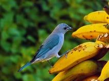 Tanager Sayaca (sayaca Thraupis) есть банан Стоковые Изображения
