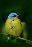 Tanager sitting on the branch. Exotic tropic blue bird with gold head from Costa Rica. Green moss stick in the forest with bird. W Stock Photo