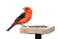 Tanager and Sunflower Seeds Royalty Free Stock Photo