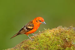 Tanager van Costa Rica Het wildscène van aard Oranje vogel vlam-Gekleurde Tanager, Piranga-bidentata, Savegre, Costa Rica Bi Stock Afbeelding