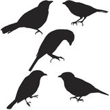 Tanagers. Vector silhouette of various tanagers Stock Photography