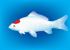 Kohaku Koi Carp Fish Illustration Royalty Free Stock Photo