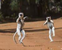 Tanczący Sifakas jest na ziemi śmieszny obrazek Madagascar Obrazy Stock