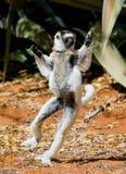 Tanczyć Sifaka jest na ziemi śmieszny obrazek Madagascar Obrazy Royalty Free