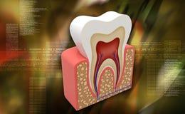 tand Fotografering för Bildbyråer