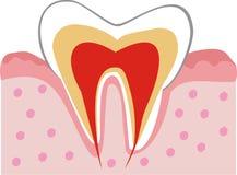tand för intern struktur Arkivbild