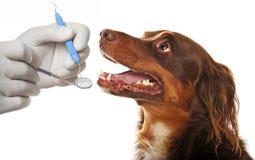 Tand- hygien för hundkapplöpning Arkivfoto