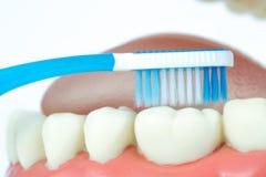 Tand modelvoorwerp met tandenborstel Royalty-vrije Stock Foto's