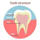 Tand- tandstruktur Medicinskt diagram av strukturen av den mänskliga tanden stock illustrationer