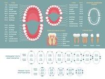 Tandanatomidiagram För tandförlust för Orthodontist mänskligt infographic diagram, tand- intrig och vektor för ortodonti medicins royaltyfri illustrationer