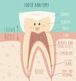 Tandanatomie, grappige tand (concept gezonde tanden) illustratie Stock Foto