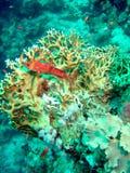 Tandbaars die op koraal rust Stock Afbeeldingen