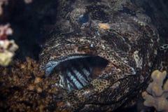 Tandbaarsvissen Stock Afbeeldingen