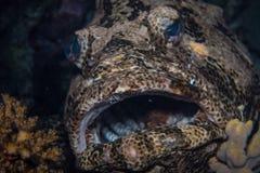 Tandbaarsvissen Stock Afbeelding