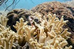 Tandbaarsvissen in koraalhuis Stock Afbeeldingen