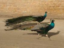 tandema påfåglar Arkivfoton