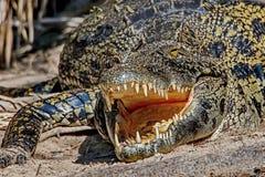Tanden van de krokodil Tanden van een krokodil Krokodillen Lat Crocodilia is grote aquatische reptielen die helemaal leven stock foto's