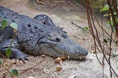 Tanden van de krokodil Krokodillen Lat Crocodilia is grote aquatische reptielen die door de keerkringen in Afrika, Azië leven stock afbeelding