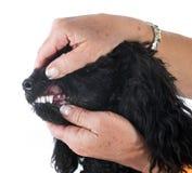 Tanden van poedel royalty-vrije stock afbeelding