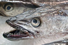 Tandfisk Royaltyfri Bild