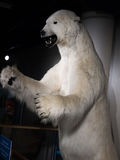 Tandis qu'ours blanc photos libres de droits