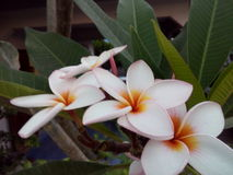 Tandis que fleurs Image libre de droits