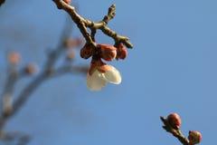 Tandis que les fleurs de cerisier sont ouvertes photos libres de droits