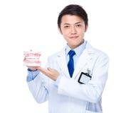 Tandläkare med tandprotesen Royaltyfri Bild