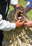 Tandonderzoek van een komondorhond Royalty-vrije Stock Afbeelding