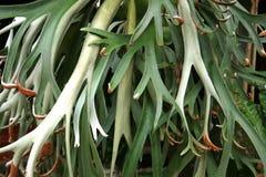 Tanduk Rusa flower  Platycerium coronarium Royalty Free Stock Photo
