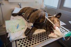 Tandvård för hund Fotografering för Bildbyråer