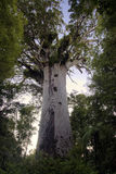 Tane Mahuta ,Kauri tree, Northland New Zealand. Stock Images