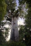 Tane Mahuta, Kauri boom, Northland Nieuw Zeeland. Stock Afbeeldingen