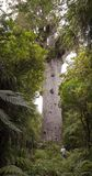 Tane Mahuta - Largest Kauri Tree in New Zealand Stock Photos