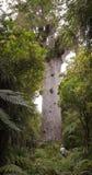 Tane Mahuta - Largest Kauri Tree in New Zealand Stock Photos