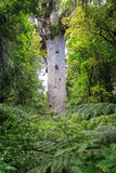 Tane Mahuta, lord of the forest Stock Image