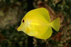 tang żółty Fotografia Royalty Free