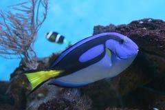 Tang azul encendido al acuario Foto de archivo libre de regalías