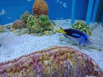 Tang bleu, hippopotame Tang, palette Tang, Tang majestueux, Surgeonfish de Flagtail, Pacifique Bluetang photo stock