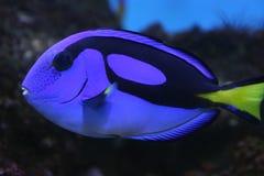 Tang blu sopra all'acquario Fotografie Stock Libere da Diritti