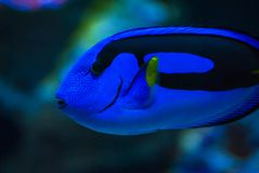 Tang Closeup bleu photographie stock libre de droits