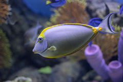 Tang-Fische, im Aquarium Lizenzfreies Stockfoto