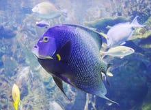 Tang fish. Closeup blue tang fish in the aquarium Stock Photos