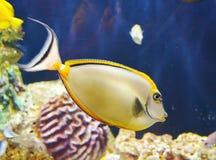 Tang fish. Closeup yellow tang fish in the aquarium Stock Photo