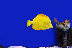 Tang fish. Photograph of underwater tropical fishes Royalty Free Stock Images