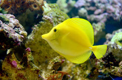 Tang jaune Photo libre de droits